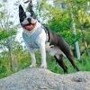 Arnés Spice Paws Celeste bulldog frances